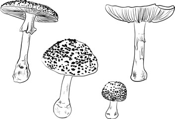 four fly agaric sketches isolated on white