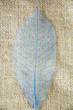 blue skeleton leaf