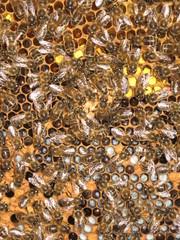 Pollenwabe mit Brut