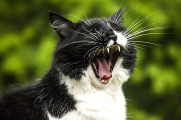 Black and white cat head closeup in moment of yawning