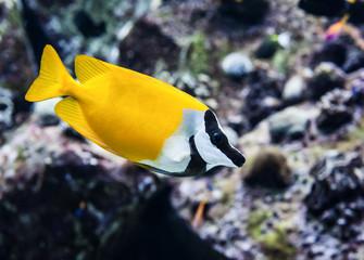 Beautiful small yellow ocean fish closeup