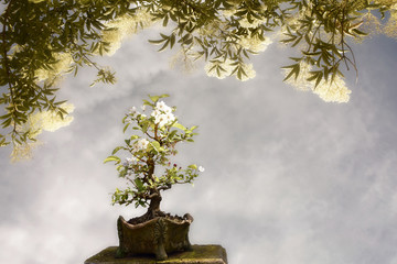 Apple tree bonsai background