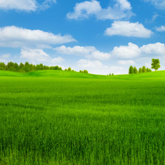 Green rye field with forest far away under blue skies