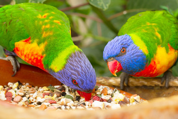 two lorri parrots