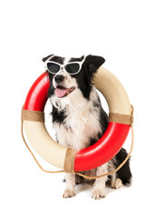 Border collie as beach guard