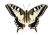 Butterfly Papilio machaon - 66040916