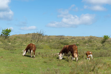 Grazing Hereford cows