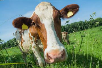 Hübsche Kuh schaut in die Kamera