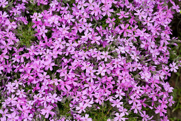Aubrieta cultorum - pink or purple small flowers