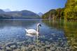 white swan on alpine lake