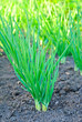 Green young onion