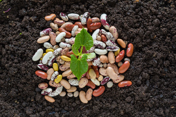 top view of bean seed germination in soil with some seeds