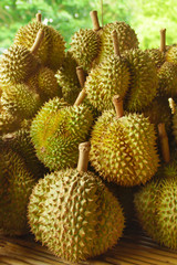 Fresh Durian on Durian Tree in Orchard, Thailand