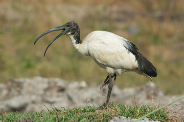 A Sacred Ibis (Threskiornis aethiopicus) with mouth open standin