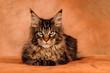 Maine Coon Katze liegend auf Braun