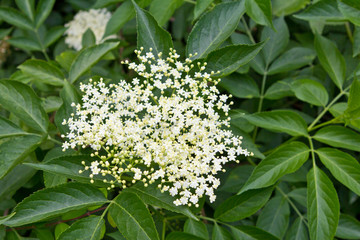 Elderberry umbel and leaves