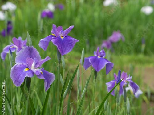 Foto op Canvas Iris 菖蒲園の6月