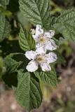 Rubus fruticosus / Roncier / Mûre / Ronce