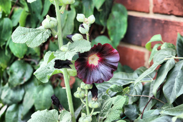 dark black blue hollyhock flower plant