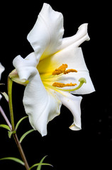 Lilium regale / Lis royal