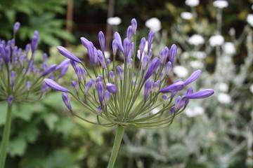 brilliant beautiful blue agapanthus flower plant