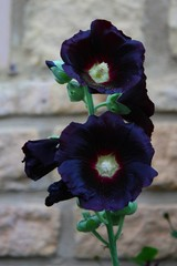 Dark black hollyhock flower