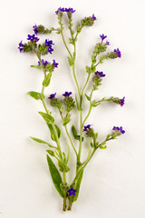 Anchusa officinalis / Buglosse officinal