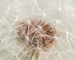 dandelion texture
