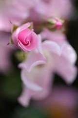 薔薇-つぼみ