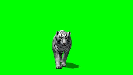 white Tiger creeps - green screen