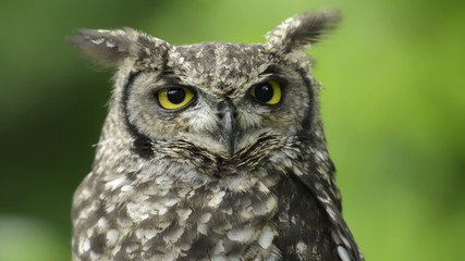 Spotted eagle-owl looking around