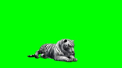 white Tiger lies and looks around - green screen