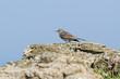 Anthus petrosus - Pipit maritime - Eurasian Rock Pipit