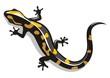 Salamander - 66054579