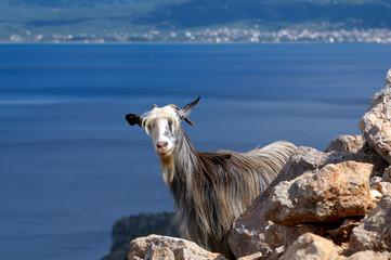 Wildziege auf Insel Kreta