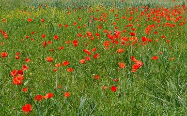 spring landscape germany garden poppy fields summer sun