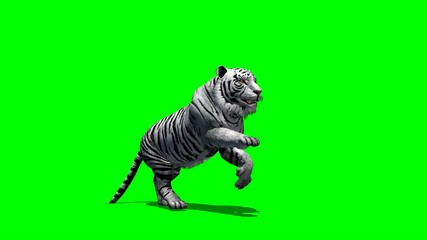 white Tiger runs - green screen