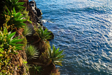 Agave plants and Ocean View, Madeira
