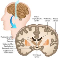 Menschliche Gehirn, Querschnitt, Anatomie, Basalganglien