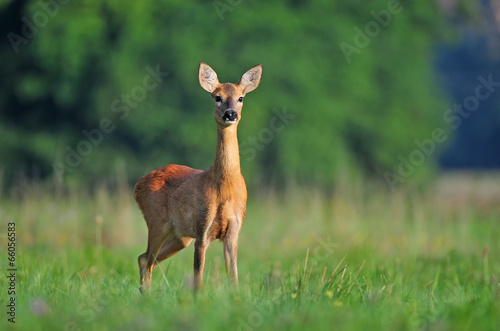Foto op Canvas Ree Roe deer