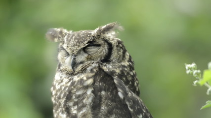 Spotted eagle-owl sleeping