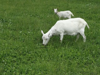 Goat and her kid on pasture