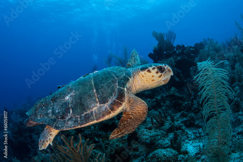 Fotobehang Schildpad Loggerhead Turtle 1