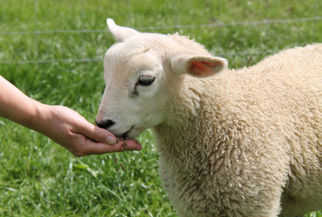 A Small Baby Lamb Being Fed by Hand.