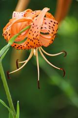 オニユリ橙色の花