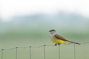 Western kingbird perching