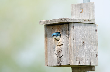 Tree swallow in birdhouse