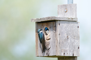 Tree swallow couple