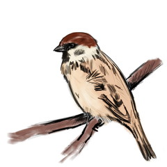 Sketch sparrow on branch isolated on white, tree sparrow