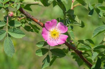 Branch of dog-rose in time of blossoming